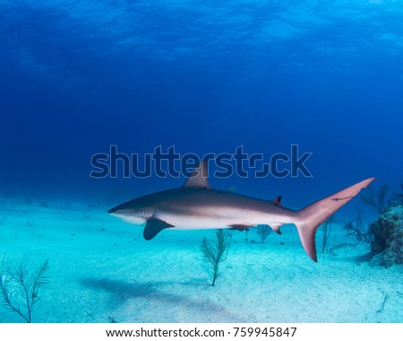 Grey reef shark swimming through the dive site
