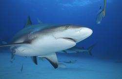 GREY REEF SHARK SWIMMING UNDERWATER