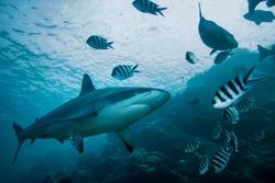 Grey Reef shark underwater against water surface and rocks