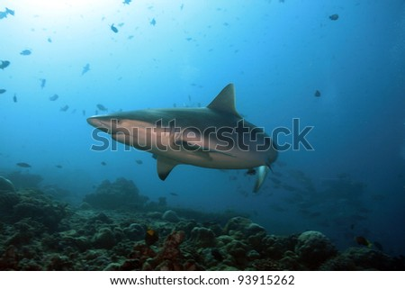 Grey reef sharks in the coral reef