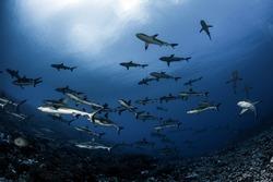 Grey Reef Sharks of Fakarava atol - French Polynesia