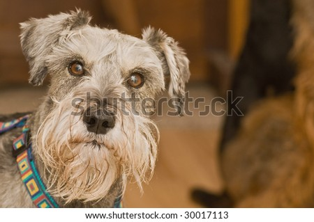 Grey salt and pepper miniature schnauzer dog looking straight ahead.  Another dog is in the background sitting.