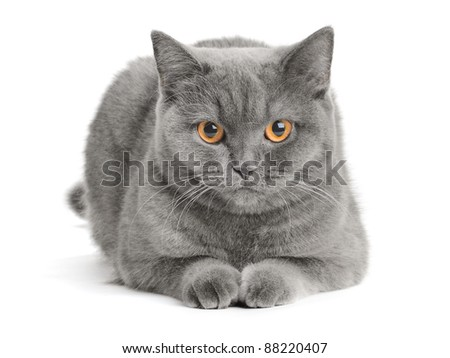 grey scottish cat on the white background