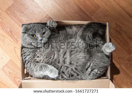 Grey Scottish fold cat sitting in shoe box. Cats are usually very curious andthey like to get into interesting places Сток-фото ©