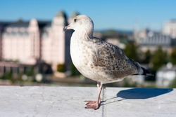 Grey seagull is walking on stone wall above blurred background with cityscape. Wild bird in city at summertime