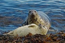 Grey Seal  (Halichoerus grypus) Cow and pup,whitecoat,resting on beach.Portrait.