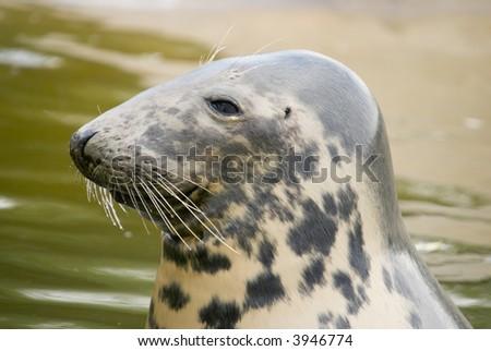 Grey Seal (Halichoerus grypus) - landscape orientation