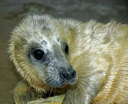 Grey Seal (Halichoerus grypus).1 week old pup in care at wildlife rescue centre.