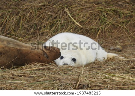 Grey seal mother and adorable pup, at Donna Nook Foto d'archivio ©