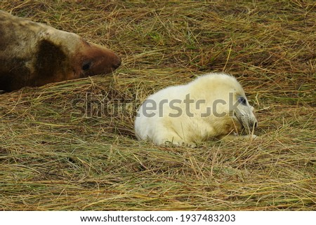 Grey seal mother and new born pup, at Donna Nook Foto d'archivio ©