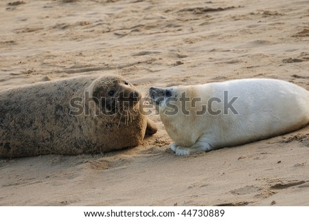 Grey Seal mum & pup facing each other lying on sandy beach
