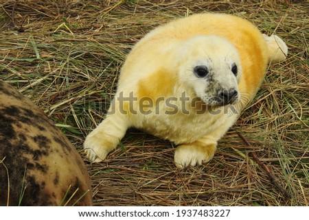 Grey Seal pup at Donna Nook Foto d'archivio ©