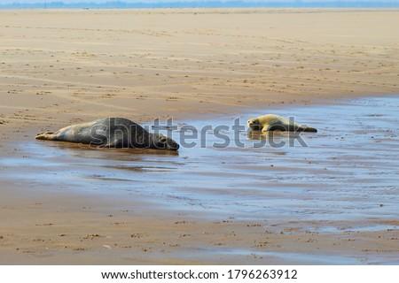 Grey Seals at Donna Nook Nature Reserve Foto d'archivio ©