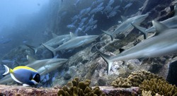 Grey sharks in Seychelles, Indian Ocean