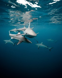 grey sharks X black tip sharks