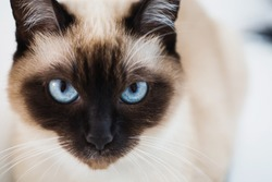 Grey Siamese cat with blue eyes close-up. Cat's face