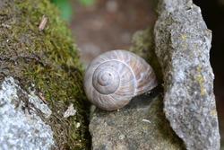 Grey snail on a stone. Snail laying on a rock.