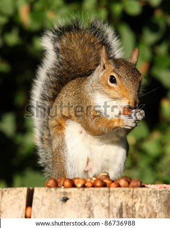 Grey Squirrel eating Hazelnuts on an old tree stump in Autumn