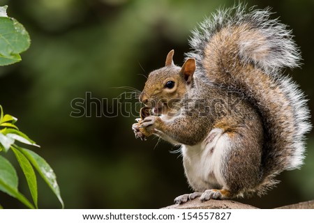 grey squirrel eating nut