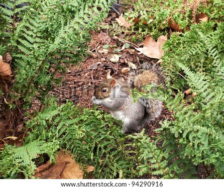 grey squirrel, Hyde park, London