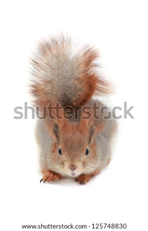 grey  squirrel on a white background
