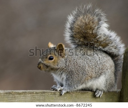 Grey squirrel perched on a wooden railing.