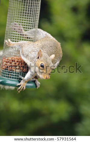 Grey squirrel (Sciurus carolinensis) eating nuts from bird feeder