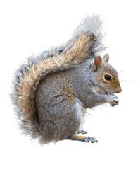 Grey squirrel, Sciurus carolinensis on a white background