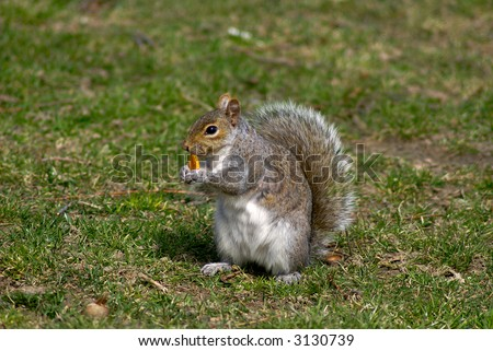 Grey squirrel sits up and eats cracker while holding it in his hands