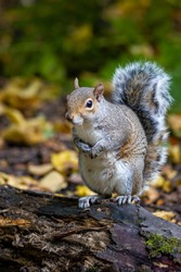 Grey squirrel standing on a fallen branch on the woodland floor.  Surrounded by autumn colours in the fall leaves