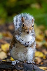 Grey squirrel standing on hind legs looking directly at the camera.  Floor of the woodland covered in autumn colour leaves