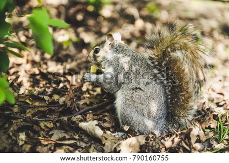 Grey squirrel with a chips in hands.