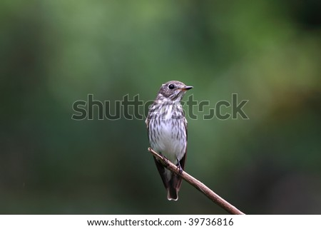 Grey-streaked Flycatcher, Muscicapa griseisticta