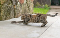 Grey stripped cat hunting the mouse. Young cat catching a mouse.
