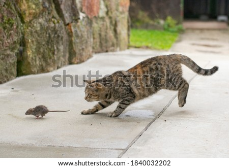 Grey stripped cat hunting the mouse. Young cat catching a mouse. Foto d'archivio ©
