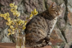 Grey stripped cat sitting next to the yellow pussy willow branches. Cat on the wooden table. Stone wall in the background.