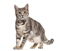 Grey stripped mixed-breed cat standing, isolated on white