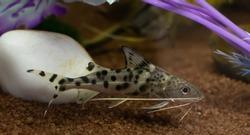Grey synodontis alberti catfish swimming underwater in aquarium