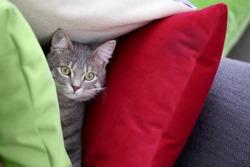 Grey tabby cat hiding between colorful pillows