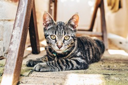 Grey tabby cat with intense golden eyes lying on a paved floor amongst wooden trusses staring at the camera