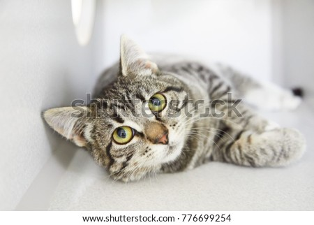 Grey tabby friendly cat rolling and asking for attention