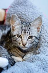 Grey tabby kitten looking into the camera