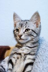 Grey tabby kitten looking sideways
