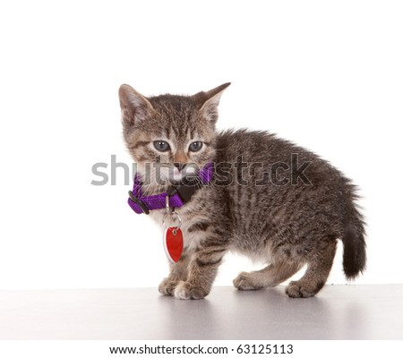 Grey tabby kitten on white background.