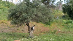 Grey tethered donkey enjoying winter sunshine in meadow one Andalusian morning. Lone donkey tethered behind olive tree in Andalusian valley