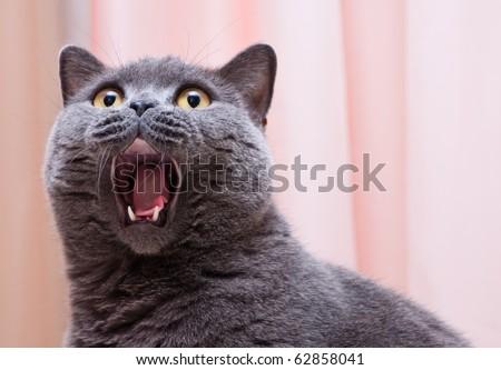Grey thoroughbred cat on white background