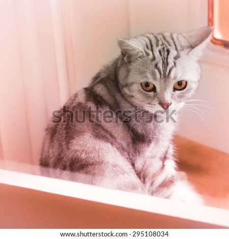 Grey tiger - sweet british shorthair whiskas breed tomcat - copper orange purple tinted square tamed wild beast cat at home portrait