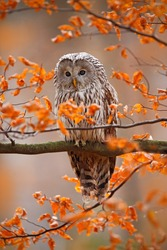 Grey Ural Owl, Strix uralensis, sitting on tree branch, in orange leaves oak autumn forest.