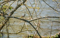 grey wagtail perches on a branch over the wiltshire river avon