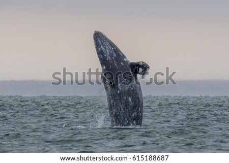 Grey whale breach